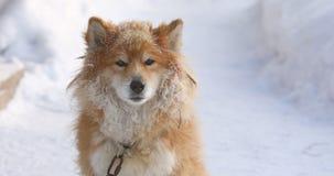 Perro encadenado rojo mullido al aire libre en invierno en la mirada de la nieve almacen de video