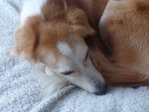 Perro encrespado para arriba en una manta foto de archivo libre de regalías