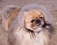 Perro enfermo Fotografía de archivo libre de regalías