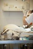 Perro enfermo Imagenes de archivo