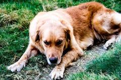 Perro enfermo Imagen de archivo