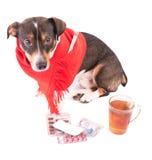 Perro enfermo con la medicina en un fondo blanco Fotos de archivo libres de regalías