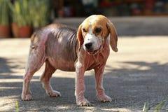 Perro enfermo del beagle con Demodicosis, Mange rojo Foto de archivo libre de regalías