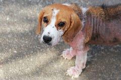 Perro enfermo del beagle con Demodicosis, Mange rojo Fotografía de archivo libre de regalías