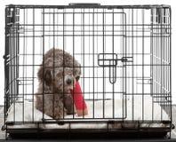 Perro enjaulado con la pierna quebrada Fotos de archivo libres de regalías