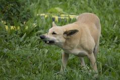 Perro enojado con los dientes descubiertos fotografía de archivo libre de regalías