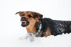 Perro enojado con los dientes descubiertos Fotos de archivo libres de regalías