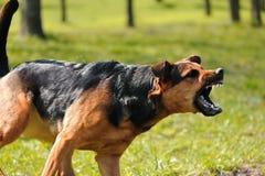 Perro enojado con los dientes descubiertos Fotos de archivo