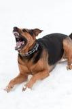 Perro enojado con los dientes descubiertos foto de archivo