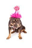 Perro enojado que lleva el sombrero rosado del partido Fotografía de archivo libre de regalías