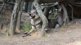 Perro entre las raíces de pinos