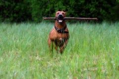 Perro entrenado Fotos de archivo