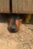 Perro entrometido Fotografía de archivo libre de regalías