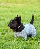 Perro escocés del terrier Fotografía de archivo libre de regalías