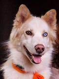 Perro esquimal Fotos de archivo
