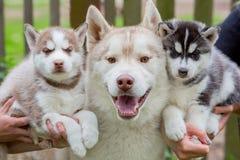 Perro esquimal adulto sonriente en gris y dos pequeños perros Fotos de archivo libres de regalías