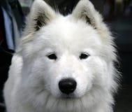 Perro esquimal agradable 1 Imagen de archivo libre de regalías