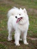 Perro esquimal blanco Imagen de archivo libre de regalías