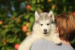 Perro esquimal blanco El perrito se sienta en el hombro 1 mes Imágenes de archivo libres de regalías