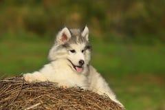 Perro esquimal blanco Perrito 1 mes Fotos de archivo libres de regalías