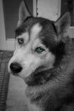 Perro esquimal blanco y negro Imagenes de archivo