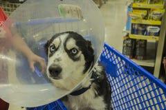 Perro esquimal con un cono de la vergüenza encendido en un carro de la compra fotografía de archivo