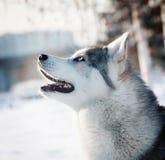 Perro esquimal de Coseup en invierno Imagen de archivo libre de regalías