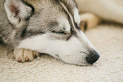 Perro esquimal de Gray Adult Siberian Husky Dog Sibirsky Foto de archivo