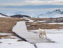 Perro esquimal de Groenlandia en Ilulissat Groenlandia Foto de archivo