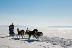 Perro esquimal de la raza de perro de trineo en invierno Imagenes de archivo