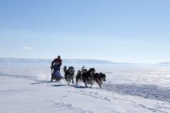 Perro esquimal de la raza de perro de trineo en invierno Foto de archivo