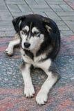 Perro esquimal de la raza del perro perdido con la sentada blanco y negro de los ojos azules en el pavimento fotos de archivo libres de regalías