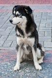 Perro esquimal de la raza del perro perdido con la sentada blanco y negro de los ojos azules en el pavimento fotos de archivo