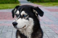 Perro esquimal de la raza del perro perdido con la sentada blanco y negro de los ojos azules en el pavimento imágenes de archivo libres de regalías