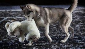 Perro esquimal de Sibirian Foto de archivo