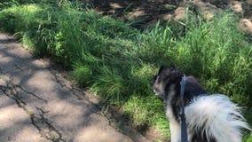 Perro esquimal de Sibirian con los paseos de la correa de perro en el camino y el paseo a chibarse metrajes