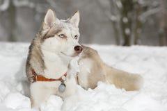 Perro esquimal del pensamiento del perro que hace muecas Fotografía de archivo libre de regalías
