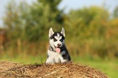 Perro esquimal del perrito con diversos ojos coloreados Fotos de archivo libres de regalías