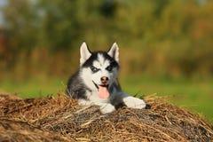 Perro esquimal del perrito con diversos ojos coloreados y su la lengua que cuelgan o Fotos de archivo