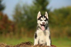 Perro esquimal del perrito con diversos ojos del color Imagen de archivo