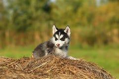 Perro esquimal del perrito con los ojos marrones Imágenes de archivo libres de regalías