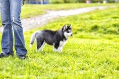 Perro esquimal del perrito en los pies del amo Imagenes de archivo