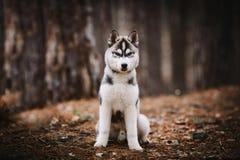 Perro esquimal del perrito en rocas Fotografía de archivo