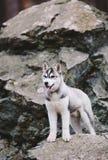 Perro esquimal del perrito en rocas Foto de archivo libre de regalías