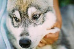 Perro esquimal del perro de la niña y de perrito fotografía de archivo libre de regalías