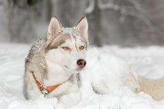 Perro esquimal difícil que hace muecas del perro blanco Fotos de archivo libres de regalías