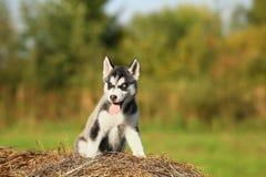 Perro esquimal divertido del perrito con diversos ojos coloreados Imagen de archivo libre de regalías