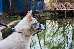 Perro esquimal en el bosque foto de archivo