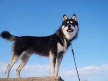 Perro esquimal en el fondo del cielo Imagen de archivo