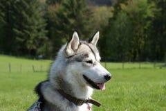 Perro esquimal en el parque Imagen de archivo libre de regalías